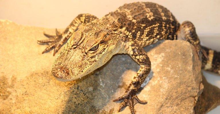 Alligator Inset