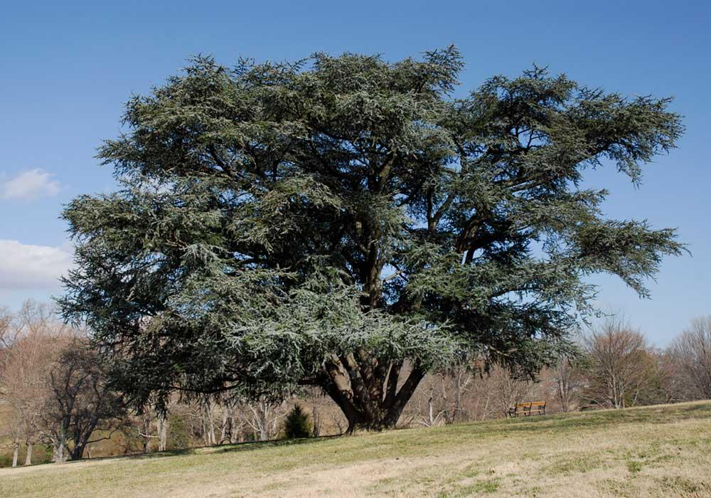 Blue Atlas Cedar in Maymont Arboretum