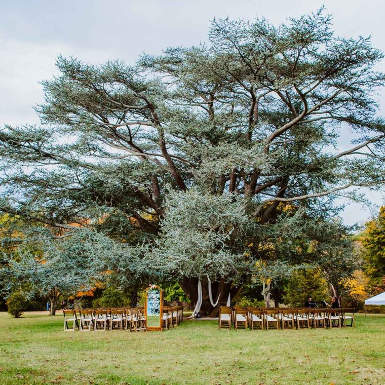 Blue Atlas Cedar at Maymont