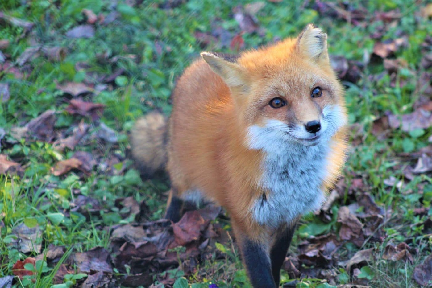 Banner Red Fox