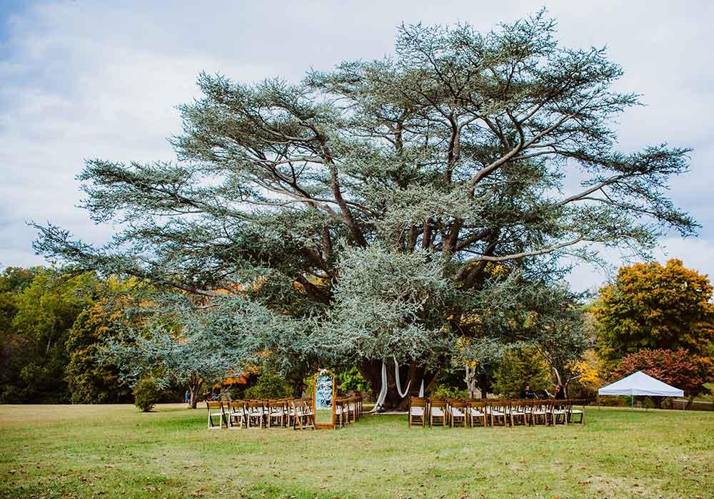 Blue Atlas Cedar at Maymont