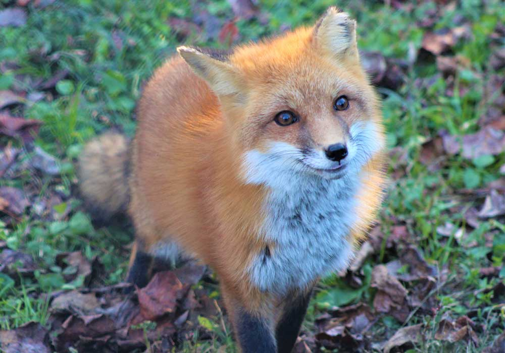 Red Fox at Maymont