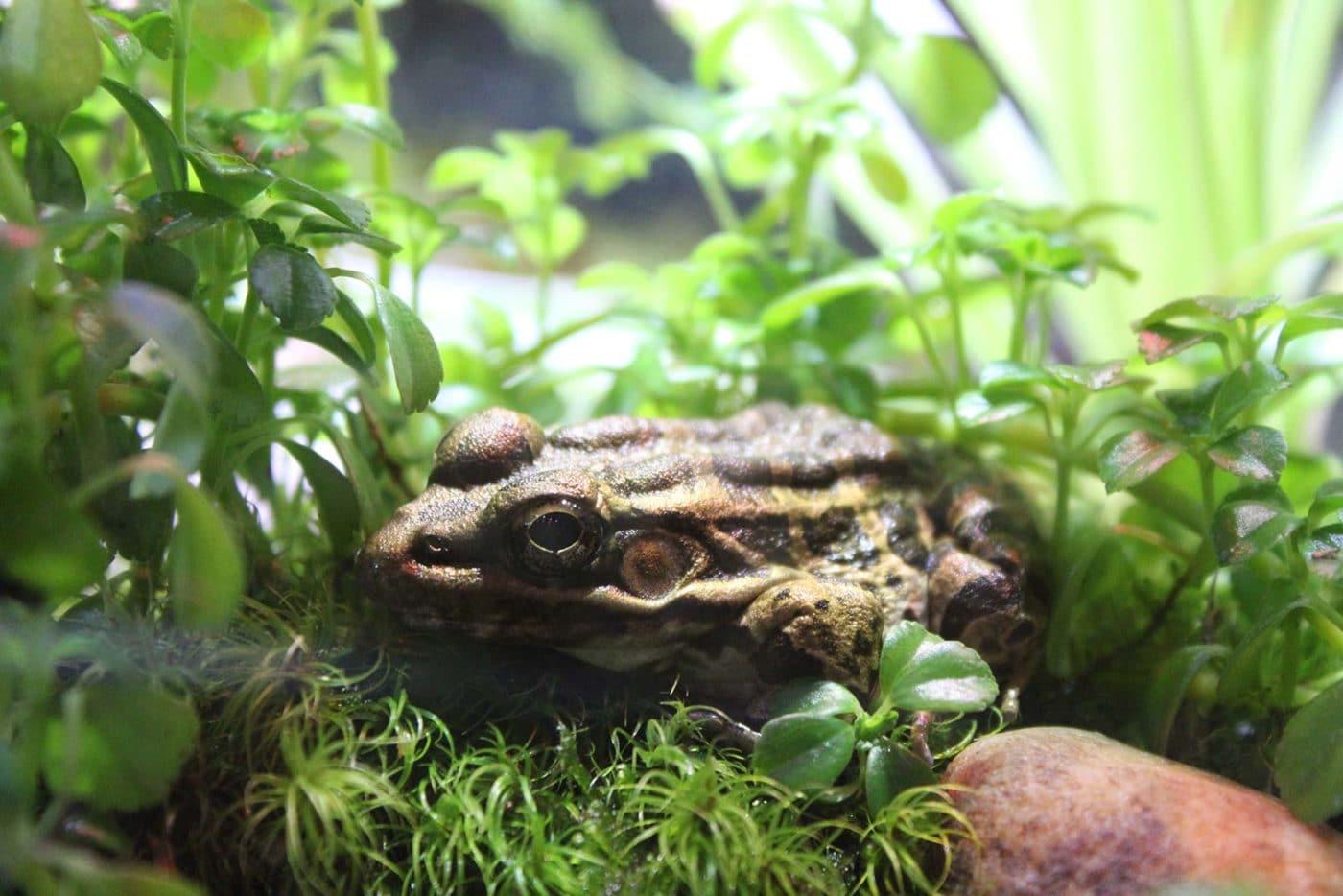 Banner Frog