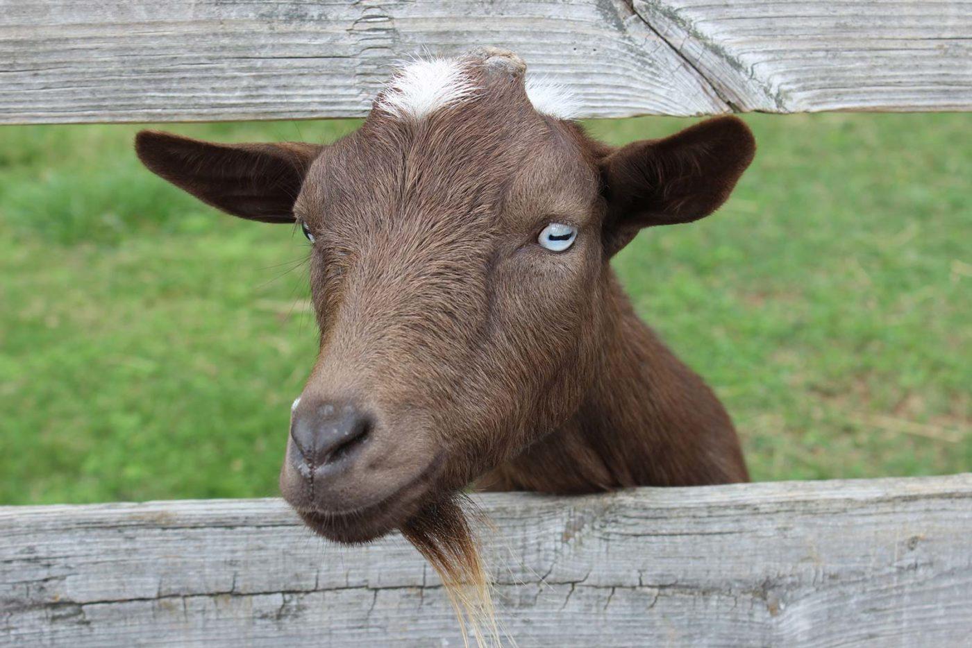 Banner Goat C Carla Murray