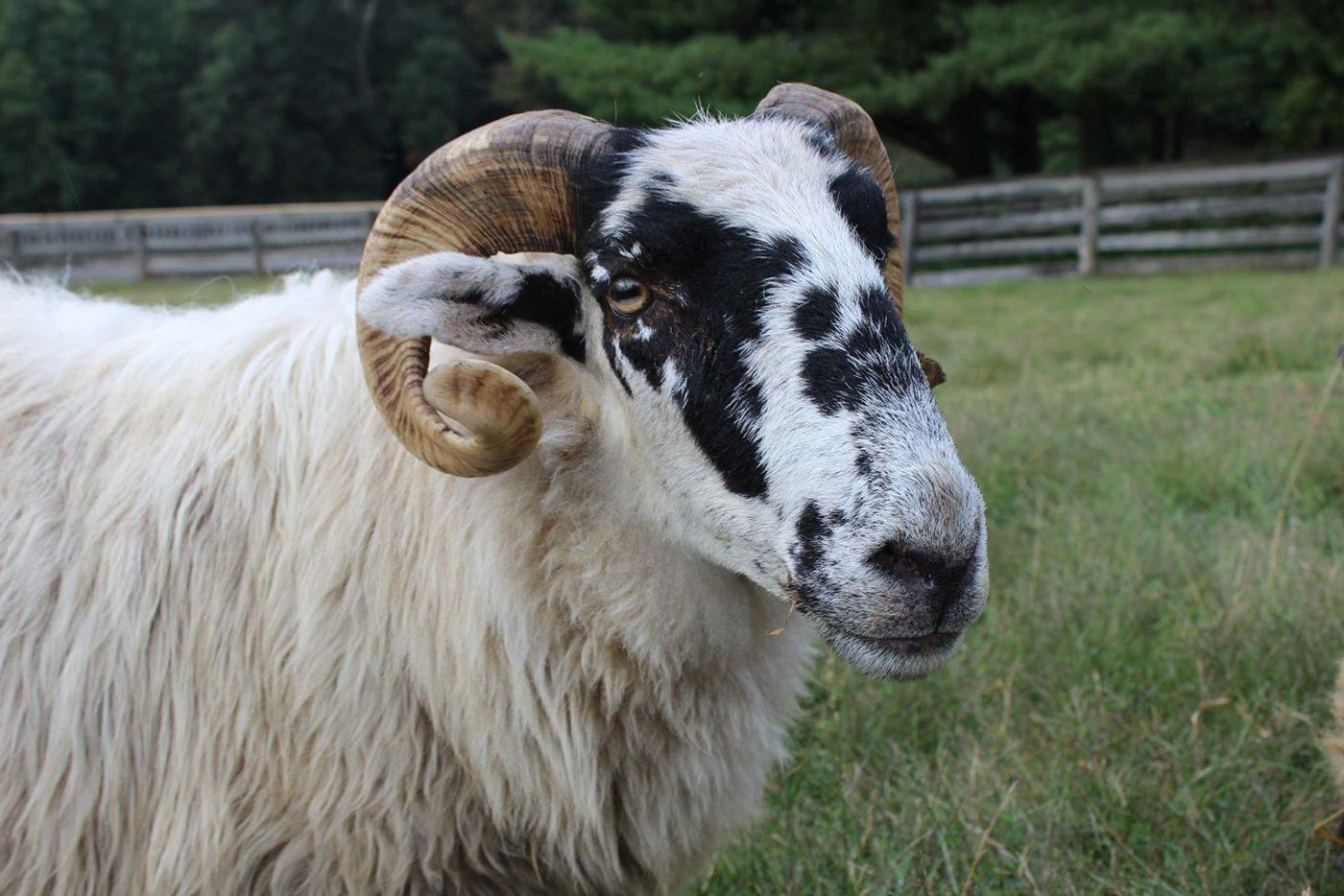 Banner Sheep