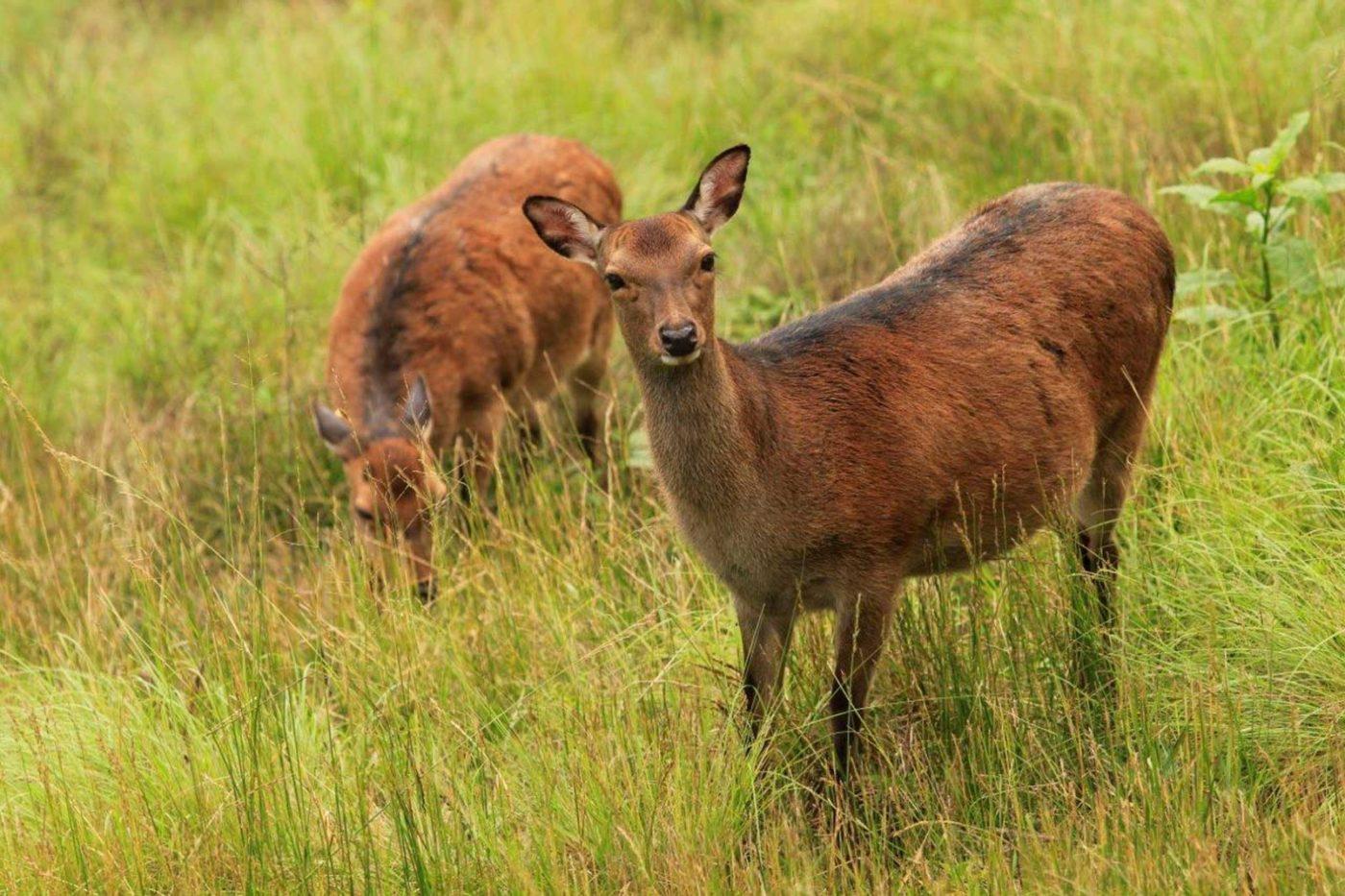Banner Sika Deer