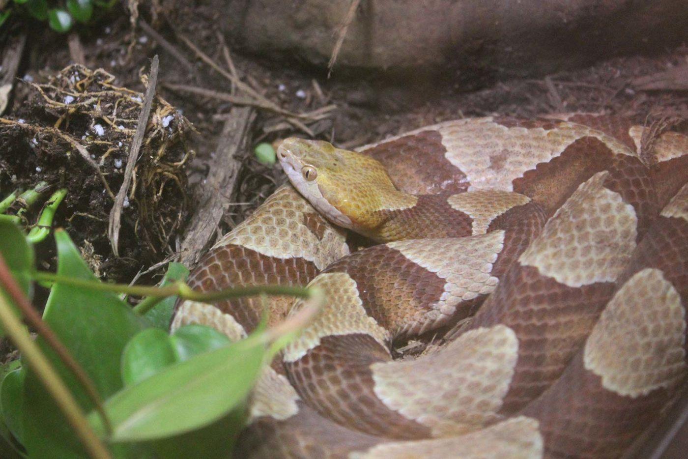 Banner Snake