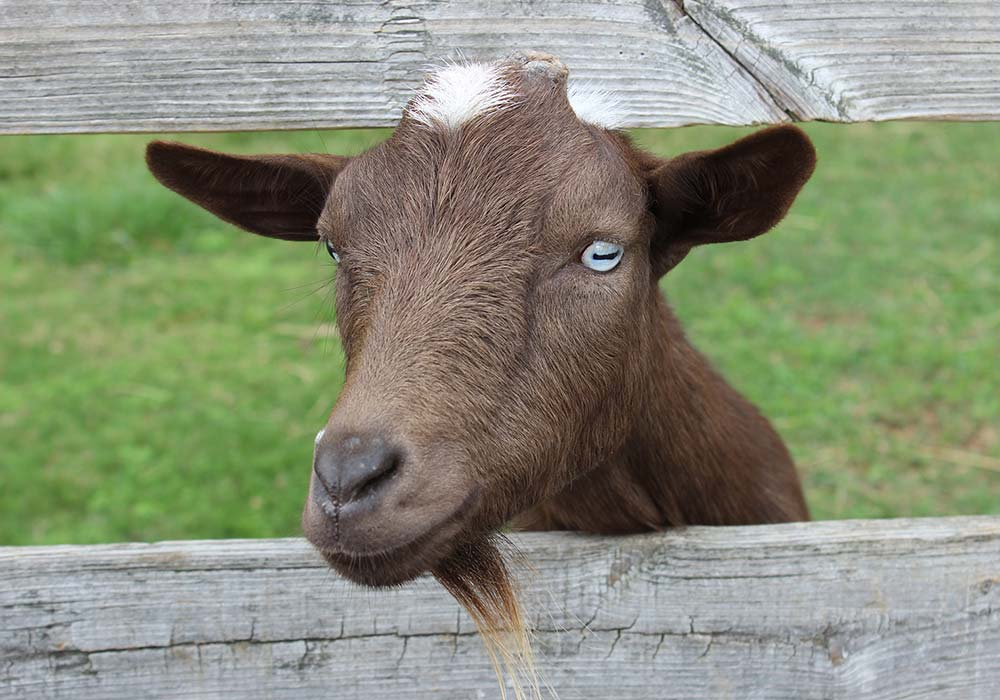 Goats at Maymont Farm