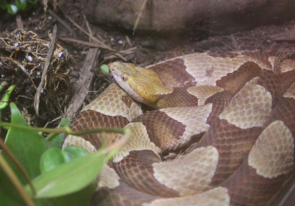 Button Snake