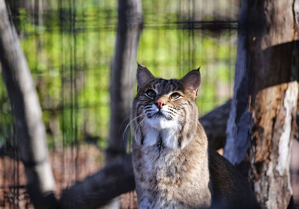 Button Bobcat Looking Up