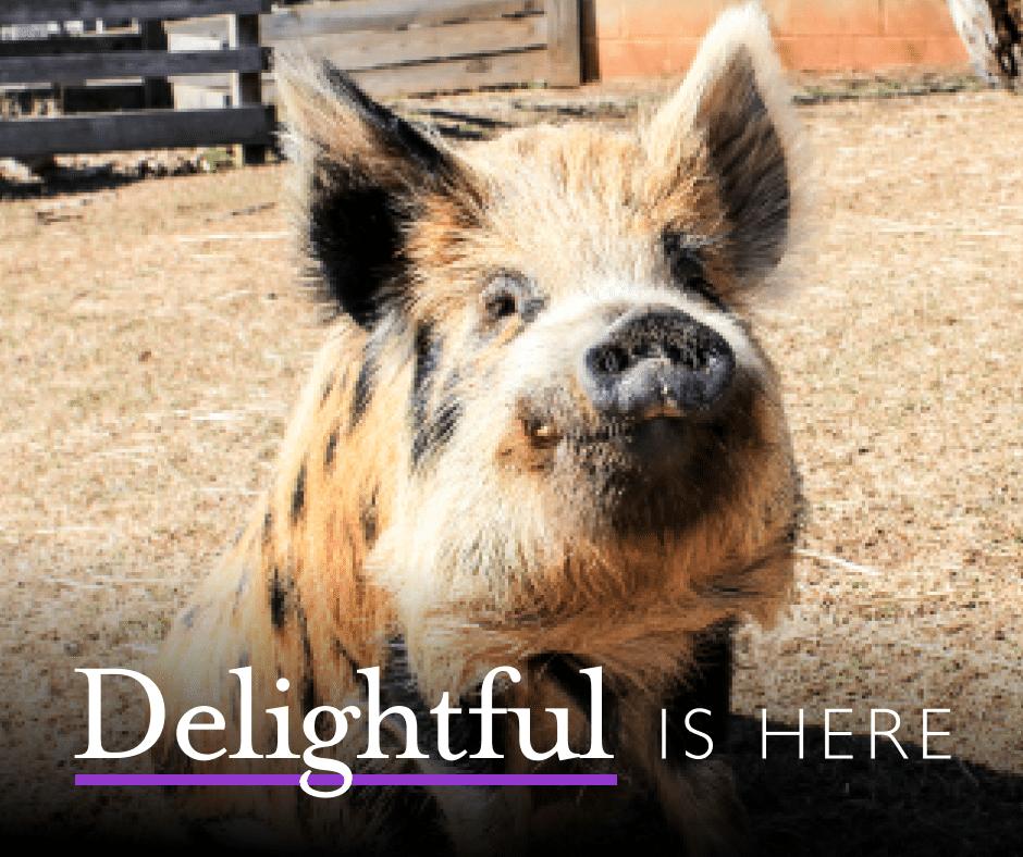 Delightful Pig