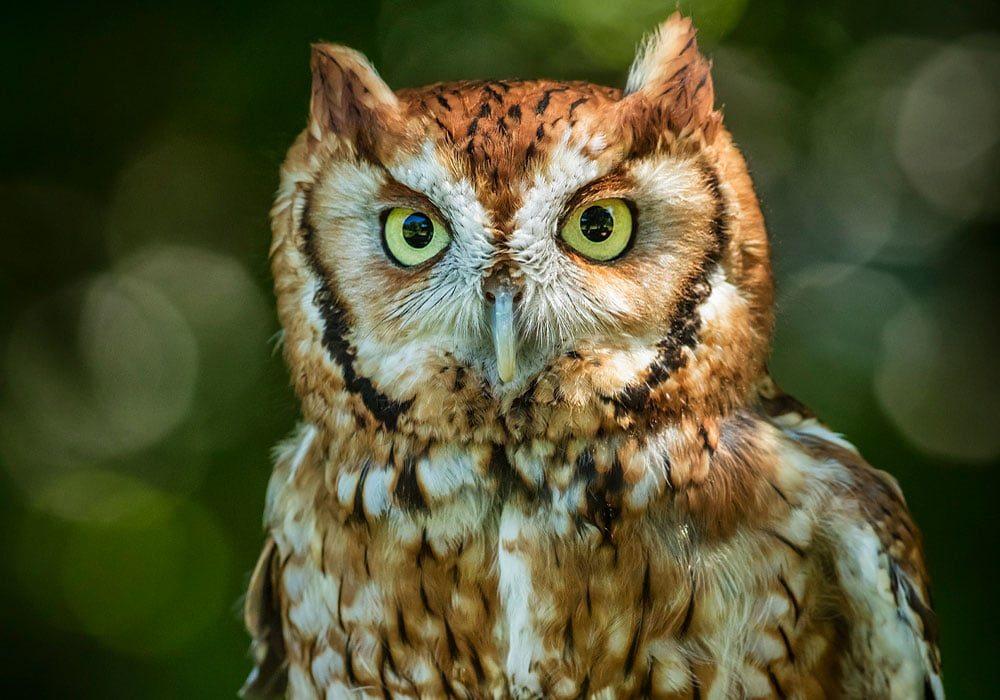 Button Owl Night Hike